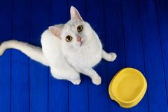 Cute, cat, white on a colored blue background. Hungry cat near empty bowl asks feed it. stock photos
