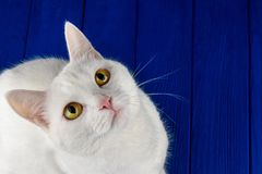 White cat with yellow eyes starring at camera. Cute, cat, white on a colored blue background. Hungry cat near empty bowl royalty free stock images