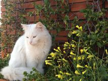 White cat and yellow flowers. Long hair white cat standind close to yellow spring flowers Stock Images