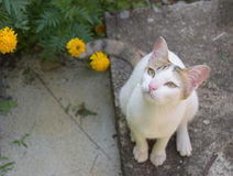 White cat and yellow flowers Stock Image