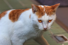 White cat with yellow marks Stock Photography