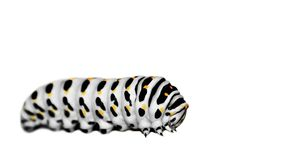 White caterpillar Stock Image