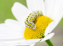 White caterpillar on flower Stock Photo