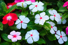 White Catharanthus roseus (commonly known as the Madagascar peri Royalty Free Stock Photo