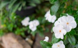 White Catharanthus roseus. The white Catharanthus roseus flower and tree Stock Image