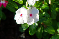 White Catharanthus roseus and morning dew Royalty Free Stock Image