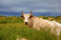 White cattle royalty free stock images