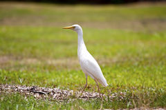 White cattle egret. Walking across a field at the honolulu zoo stock images