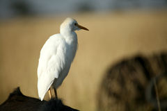 White Cattle Egret Stock Photography