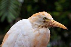 White cattle egret bird in close up Stock Photos