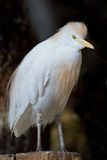White cattle egret Bubulcus ibis Royalty Free Stock Image