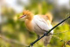 White Cattle egret is found in the bamboo trees lakeside Pokhara Nepal royalty free stock photos