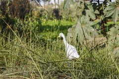 White Cattle Egret. Inside a field in the countryside of Fayoum, Egypt Royalty Free Stock Photos