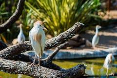 White Cattle Egret Stock Image