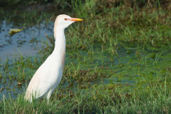 White cattle egret walking in the swamp Stock Photo
