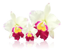 White Cattleya orchid Royalty Free Stock Photo