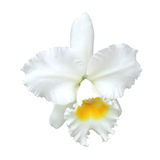 White Cattleya orchid. Isolated on white background stock photography