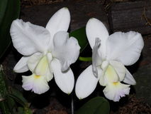 White Cattleya Orchid Stock Image
