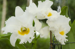 White cattleya orchid Stock Images