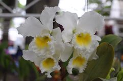 White cattleya orchids Stock Photography