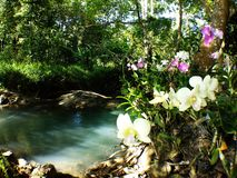 White cattleya orchids side stream stock images