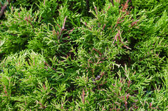 White cedar background Stock Images