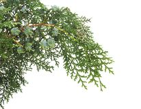 White cedar. Branch white cedar with cones on a white background stock photo