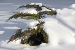 White cedar branches in snow. White cedar branches under the snow Royalty Free Stock Photography