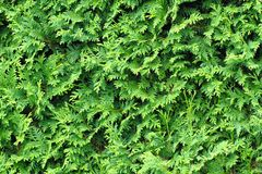 White cedar leaves background. White cedar leaves texture as nice natural background Royalty Free Stock Photography