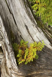 White cedar seedling grows on a driftwood stump in Maine. Northern white cedar tree seedling growing on a driftwood stump on the beach at Flagstaff Lake in Stock Image