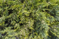 White cedar (Thuja occidentalis) Royalty Free Stock Images