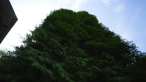 White cedar Thuja occidentalis branches on sky background.  stock video footage