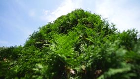 White cedar Thuja occidentalis branches on sky background.  stock footage