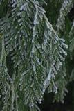 White Cedar - Thuja Occidentalis Close up, shallow depth Royalty Free Stock Image