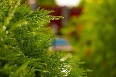 White Cedar - Thuja Occidentalis Close up, shallow depth Royalty Free Stock Photos