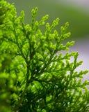 White Cedar - Thuja Occidentalis Close up, shallow depth Royalty Free Stock Photo