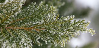 White Cedar - Thuja Occidentalis Close up, shallow depth Stock Photography