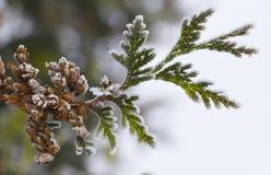 White Cedar - Thuja Occidentalis Close up, shallow depth Stock Image