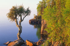 White Cedar Tree Stock Images