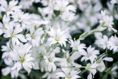 Cerastium tomentosum flower bushes in garden. White Cerastium tomentosum flower bushes in garden royalty free stock photography