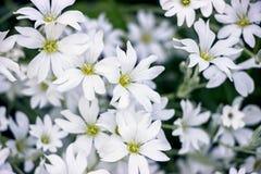 Cerastium tomentosum flower bushes in garden. White Cerastium tomentosum flower bushes in garden royalty free stock photos