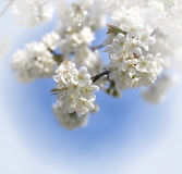 White cerry blossoms Stock Photo