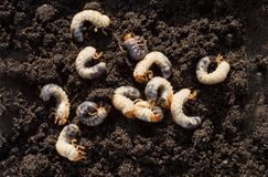 White chafer grub against the background of the soil. Larva of the May beetle. Agricultural pest royalty free stock images