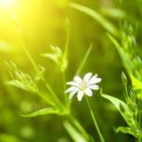 White chamomile Royalty Free Stock Image