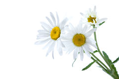 White chamomile Stock Photos