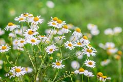 White chamomile blossomed on a meadow on a sunny summer day_ royalty free stock photo