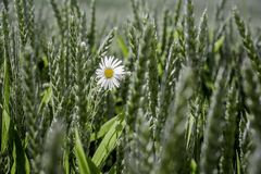 White chamomile in field among wheat ears_ royalty free stock image
