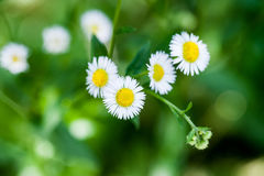 White Chamomile flower close-up Royalty Free Stock Photography