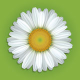 White Chamomile Flower. Flower white daisies on a green background Royalty Free Stock Image