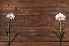 White chamomile flower on wooden background. Royalty Free Stock Images